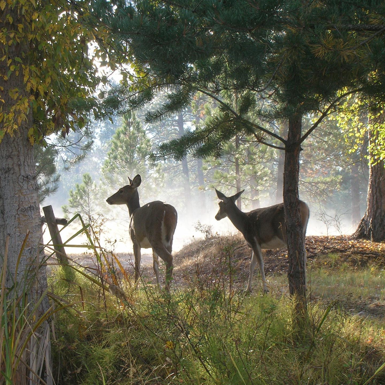 deer-9-25-07-front-yard-002